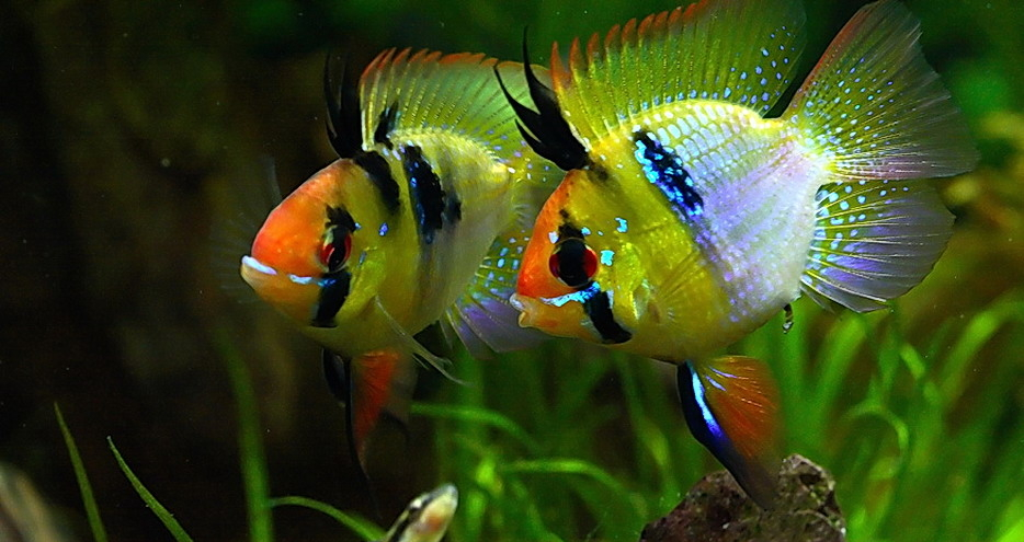 Freshwater tropical fish care beginners guide tropical for Easiest fish to take care of