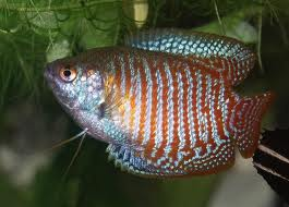 Dwarf Gourami Freshwater Tropical Fish Care Beginners Guide