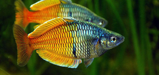 exotic-freshwater-tropical-fish