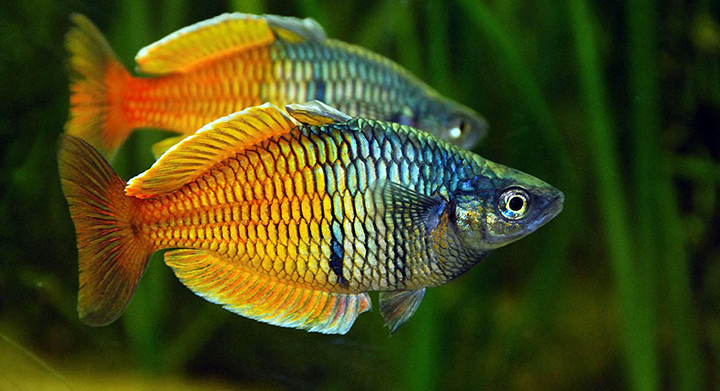 Exotic freshwater tropical fish profiles tropical fish care for Small freshwater aquarium fish
