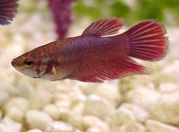 female-betta Exotic Freshwater Tropical Fish