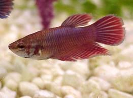 female-betta Exotic Freshwater Tropical Fish