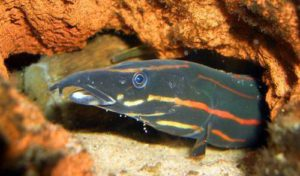 fire-eel Freshwater Spiny Eels