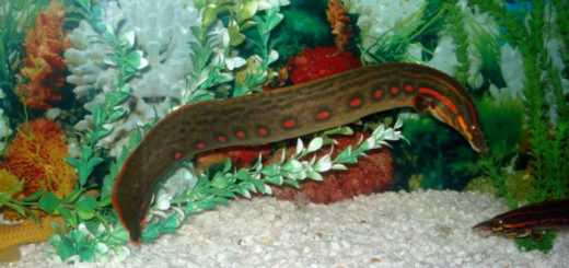 freshwater-spiny-eels