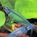 glass-catfish Exotic Freshwater Tropical Fish