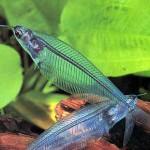 glass-catfish Exotic Freshwater Tropical Fish