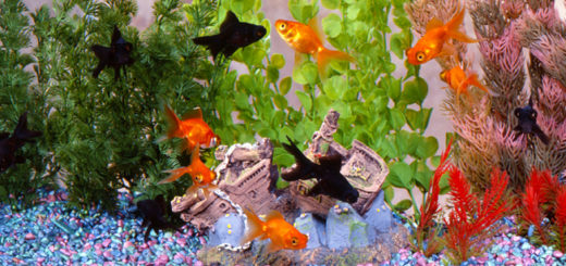 goldfish-care