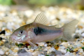 Bronze Corydora Bottom Feeders