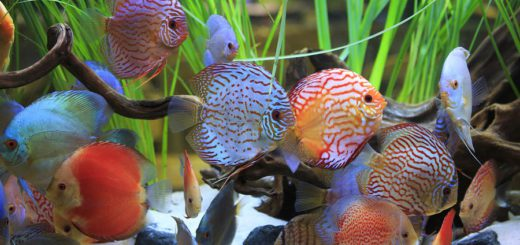 cichlids-tropical-fish