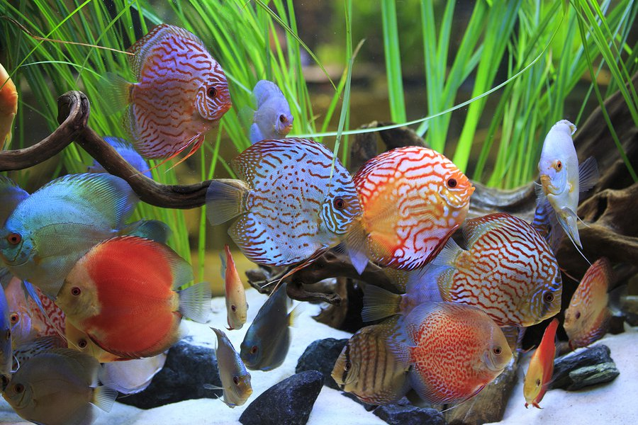 Cichlids Tropical Fish Care Guide - Tropical Fish Care