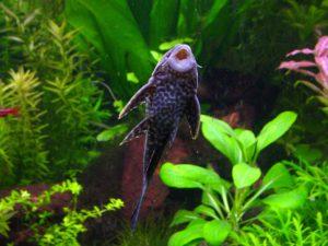 pleco-algae-eater